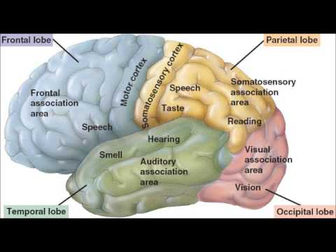 Cerebrum - A quick video reviewing some key concepts about the cerebrum section of the brain. (Please excuse the incorrect pronunciations!) Enjoy anyway! A Copy of the ...