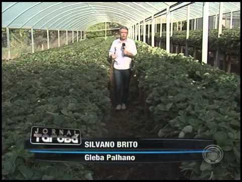 Nova técnica melhora produção de morangos em Londrina (29/10)