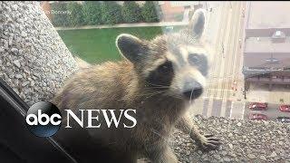 Video Raccoon stuck on side of building reaches internet stardom MP3, 3GP, MP4, WEBM, AVI, FLV Januari 2019