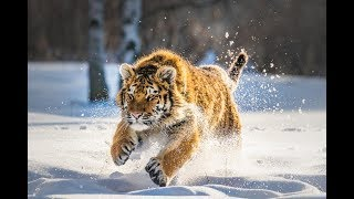 Дикая природа России Wildlife in Russia National Geographic