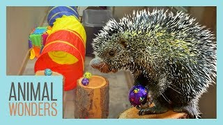 Porcupine Does an Obstacle Course! by Animal Wonders