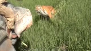 Ataque de Tigre Louco