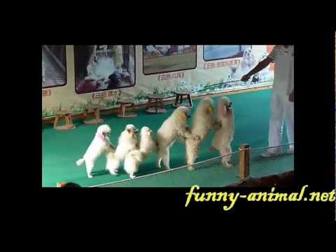 dog-show-pushing-jumping-and-line-up