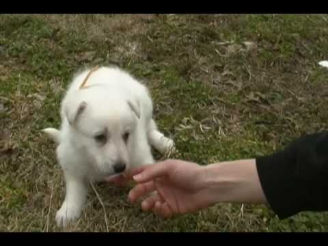 Jasmines Miss Hazelnut Creme White Female Puppy