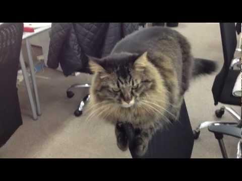 un gatto e il suo modo preferito di stare sulla sedia!