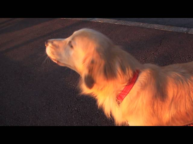 This Dog Does Something Interesting After Hearing A Police Siren