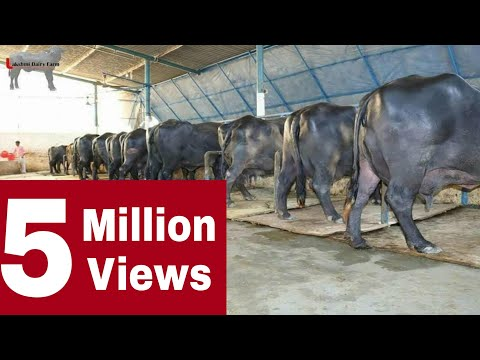 Lakshmi Dairy Farm Full Video