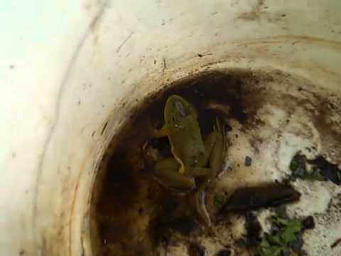 0 Five legged Frog Saved from Chinese Cooking Pot picture