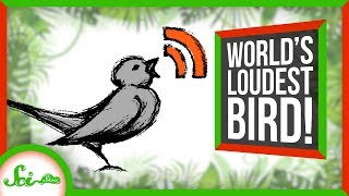 Loudest Bird in the World Screams at its Mate | SciShow News by  SciShow