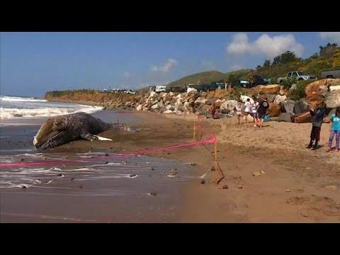 Νεκρή 12μετρη φάλαινα ξεβράστηκε στο Μαλιμπού
