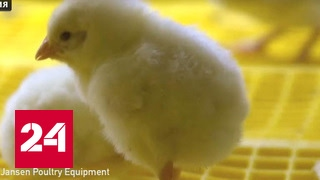 На Россию идет птичий грипп-мутант