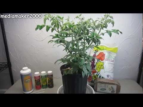 Easy Hydroponic Tomato - No Pumps! Experiment DIY