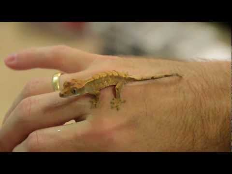 New Crested Gecko Hatchling and Breeding Update