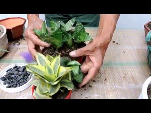 Lengua de suegra cuidados for Plantas de interior precios