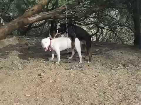 Successful Bull Terrier Breeding