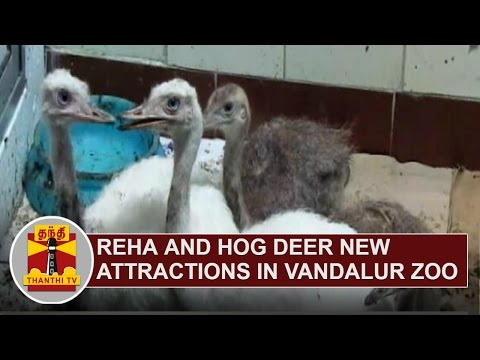 Rhea-Hog-deer-New-attractions-in-Vandalur-Zoo-Thanthi-TV