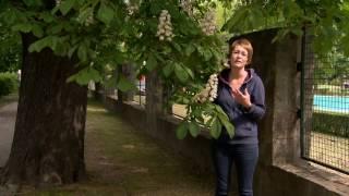 Közönséges vadgesztenye - Kertészeti TV - műsor