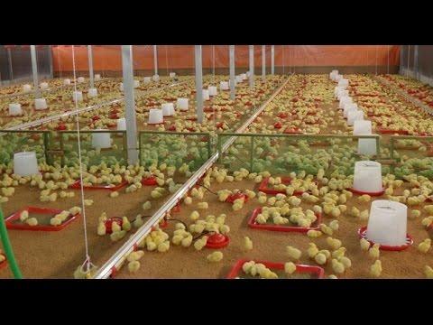 Video मुर्गी को दवा देने का सही तरीका ताकि ज्यादा असर हो ! Best way to Treat Birds for better results. download in MP3, 3GP, MP4, WEBM, AVI, FLV January 2017