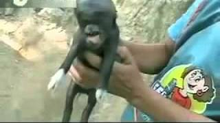 Piggy born with a human head in Guatemala