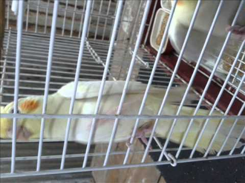 Parrot in Cage: Beautiful Parrots