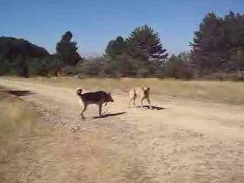 kangal dövüsü
