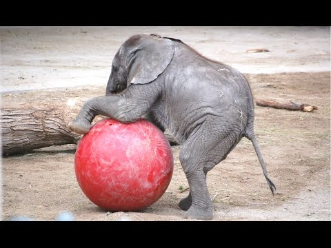 Cute Baby Elephant - A Cute And Funny Baby Elephant Videos Compilation || NEW HD