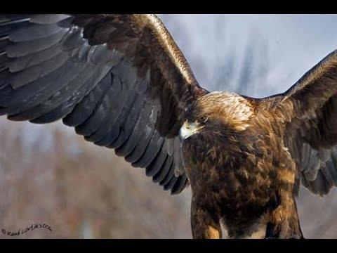 L'Aigle royal: ce géant majestueux en voie de disparition à Tlemcen.