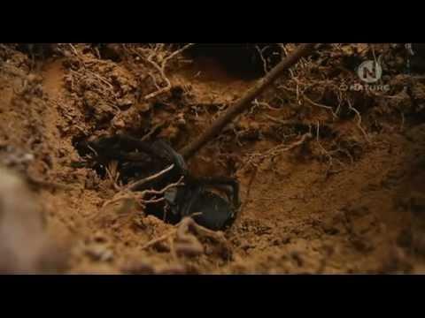 Tarantula - Pavúk všetkých pavúkov Austrálie