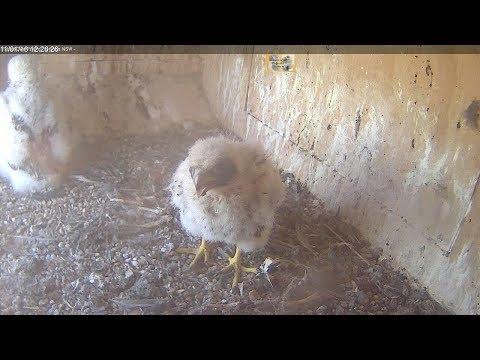 Vögel - Wanderfalken / Peregrine Falcon - Nest (Or ...