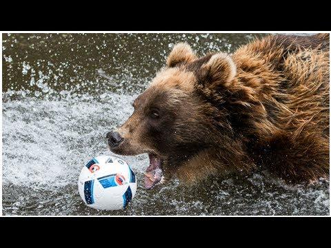 Dernières nouvelles | Un petit club russe prend un ours vivant comme mascotte ! | Goal.com (видео)