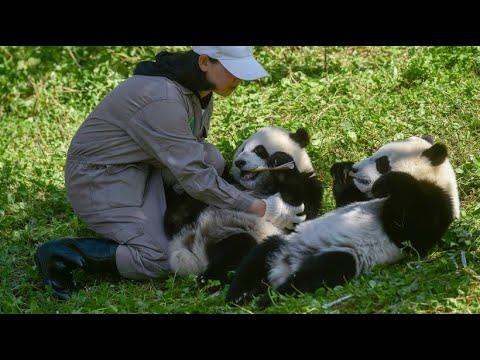 Shenshuping/China: Panda-Zwillinge Hehe und Meimei haben ihren großen Auftritt