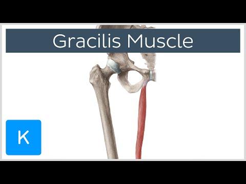 Gracilis Muscle - Function & Origins - Human Anatomy | Kenhub