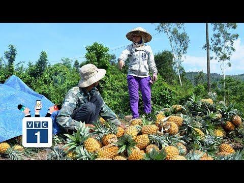 """""""Mùa dứa đắng"""" ở Nghệ An - Thời lượng: 2 phút, 40 giây."""