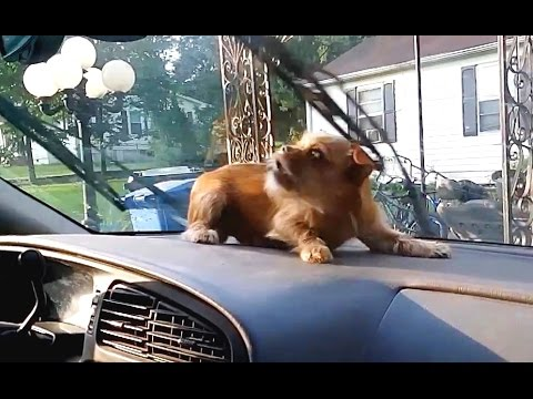 Cute and Funny: Dogs vs. Windshield Wipers