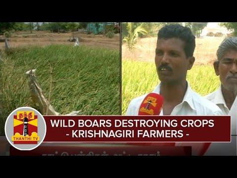 Wild-Boars-destroying-Crops--Krishnagiri-Farmers--Thanthi-TV