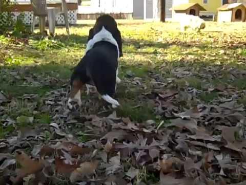 basset hound puppy 112812h