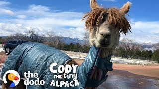 Watch Cody Get A Coat Made Just For Her! | Cody The Tiny Alpaca (Episode 2) by The Dodo