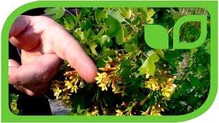 #346 Die neue Vierbeere Orangesse (Ribes aureum)