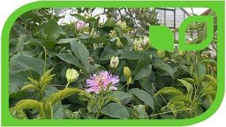Passion Fruit Eia Popeia
