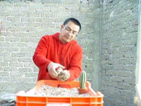 Transplantar cactus videos videos relacionados con - Como transplantar cactus ...