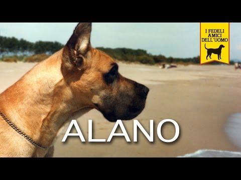 l'alano tedesco - un cane da scoprire