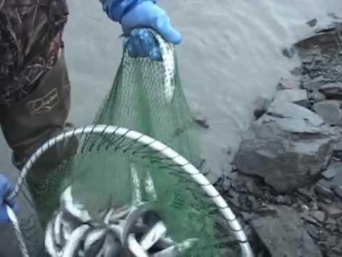 Yawm Ntses Nyob Alaska 2012 wmv #2