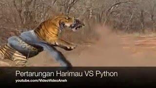 Video Anaconda Menyerang Macan   Pertarungan Nyata Ular Phyton VS Harimau MP3, 3GP, MP4, WEBM, AVI, FLV September 2017