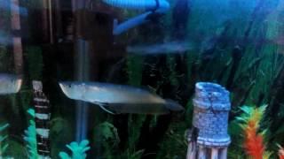 New guest, Arona fish