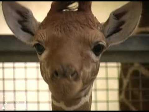 Video: Baby Giraffe Up Close