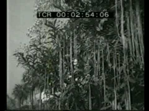 Panorama - April Fool\'s Day Hoax - Spaghetti Harvest - 1st April 1957