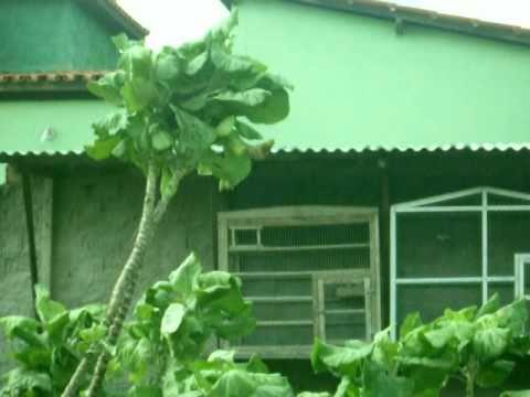 sanhaço-cinza na minha horta em Rio Real Bahia