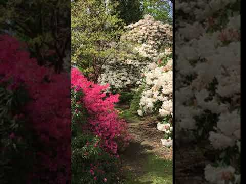Rhododendrons In the Savill Garden - May 2018