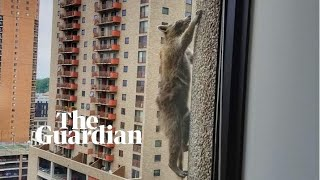 Video Raccoon finally reaches the summit of Minnesota's UBS building MP3, 3GP, MP4, WEBM, AVI, FLV Oktober 2018