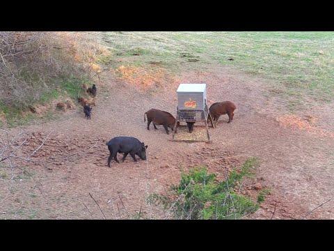 This Hog Wasn't THAT Tough!! Texas BOWHUNT!